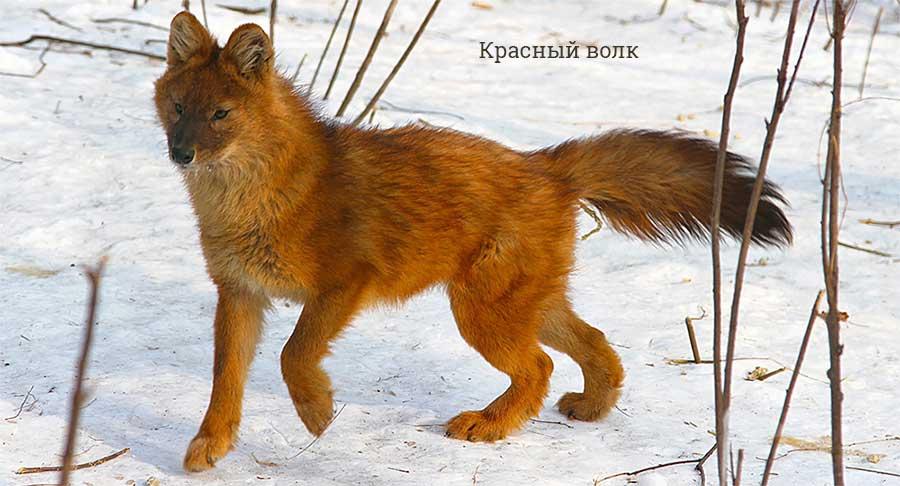 Топ-10 самых крупных волков в мире: сколько весят, где обитают зверушки,живность,питомцы, Животные